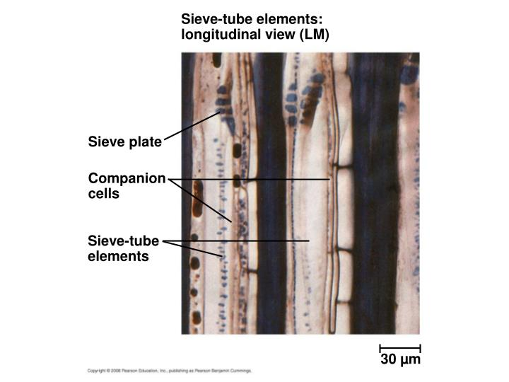 Sieve-tube elements: