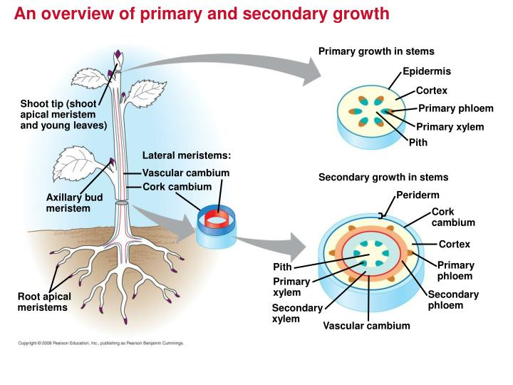 An overview of primary and secondary growth