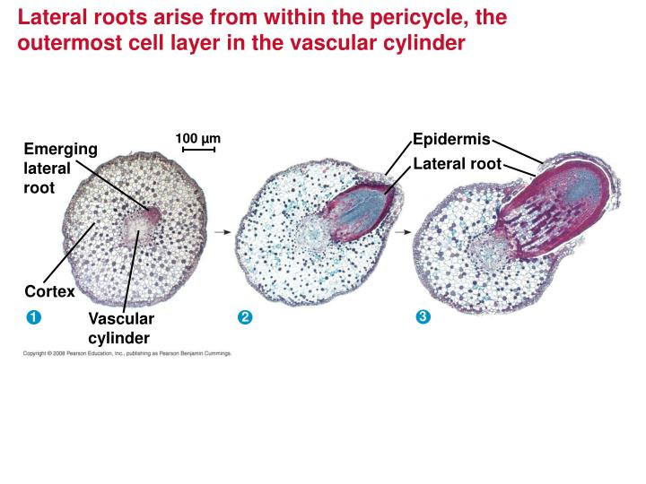 Lateral roots arise from within the pericycle, the outermost cell layer in the vascular cylinder