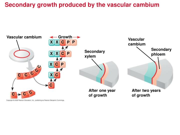 Secondary growth produced by the vascular cambium