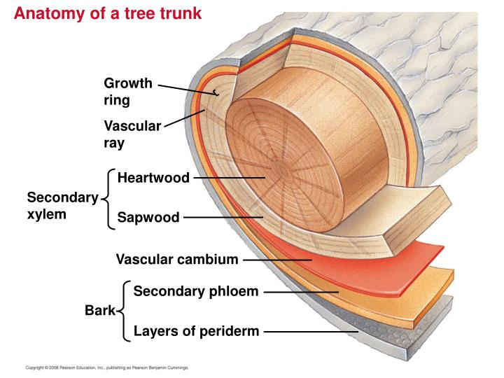 Anatomy of a tree trunk