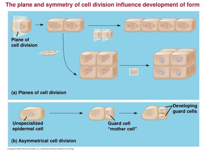 The plane and symmetry of cell division influence development of form