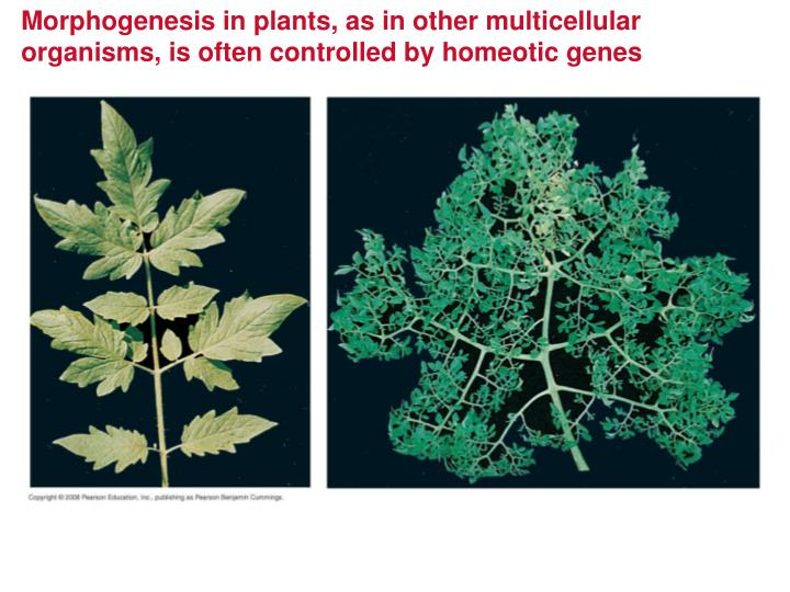 Morphogenesis in plants, as in other multicellular organisms, is often controlled by homeotic genes