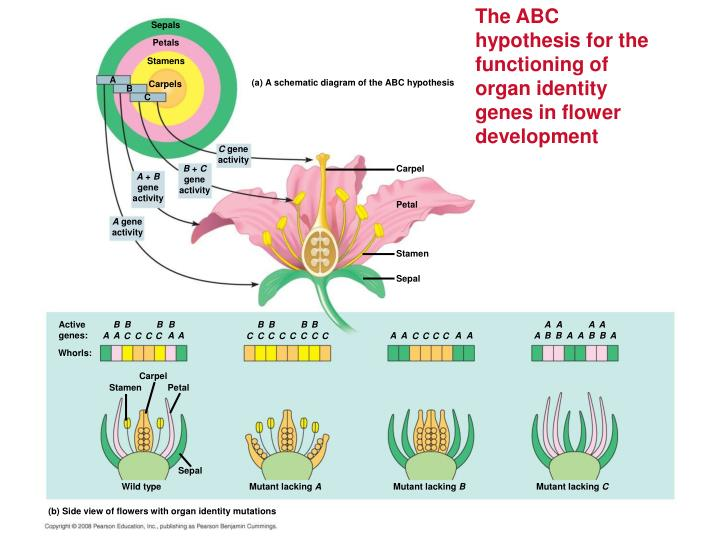 The ABC hypothesis for the functioning of organ identity genes in flower development
