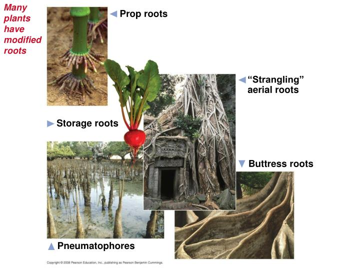 Many plants have modified roots
