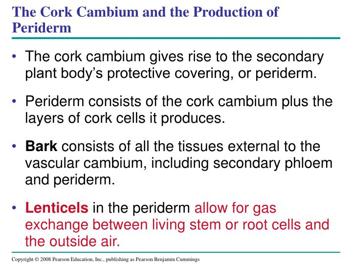 The Cork Cambium and the Production of Periderm