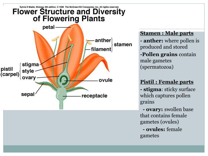 Stamen : Male parts