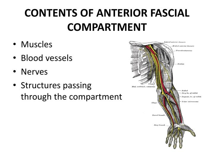 Contents of anterior fascial compartment