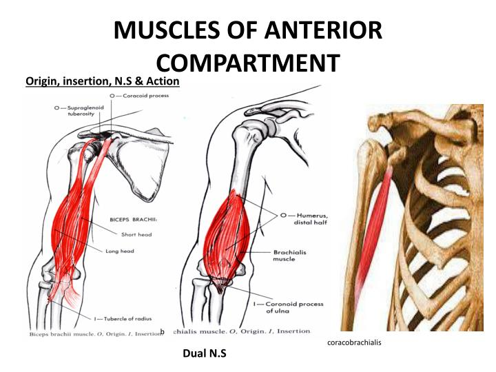 MUSCLES OF ANTERIOR COMPARTMENT