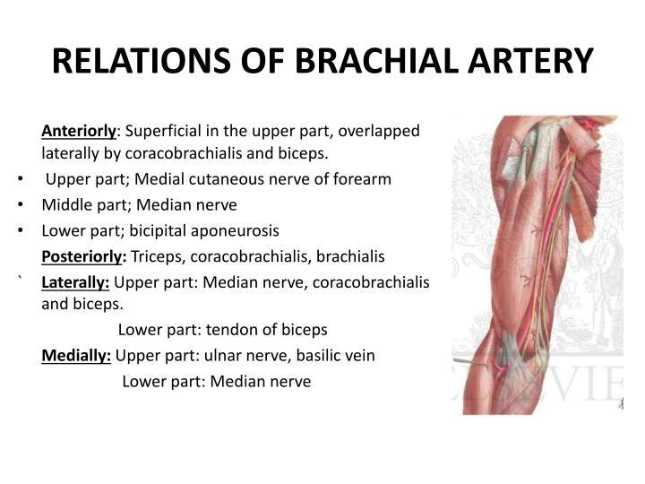 RELATIONS OF BRACHIAL ARTERY