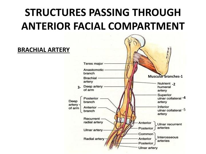 STRUCTURES PASSING THROUGH ANTERIOR FACIAL COMPARTMENT