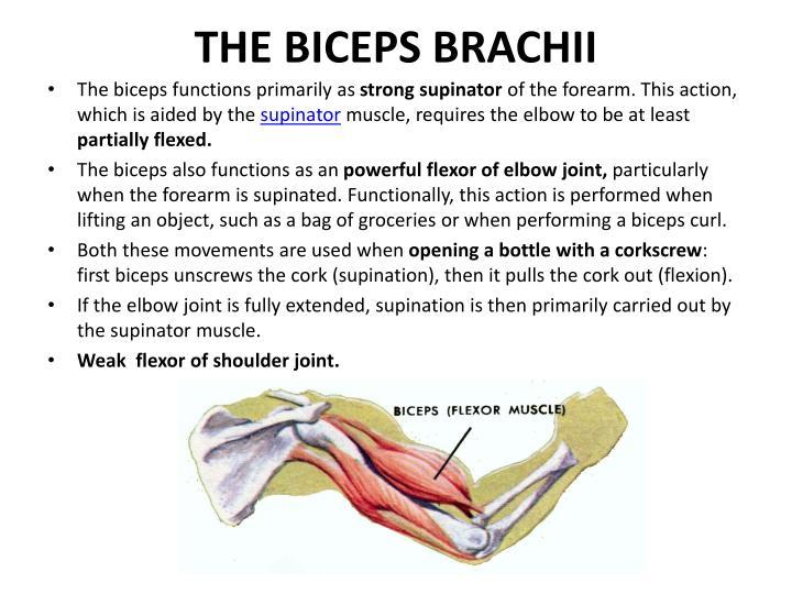 THE BICEPS BRACHII