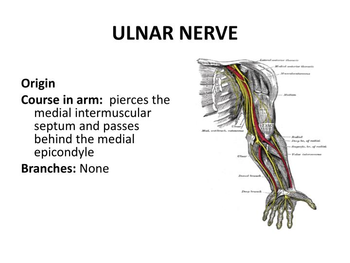 ulnar nerve - photo #32