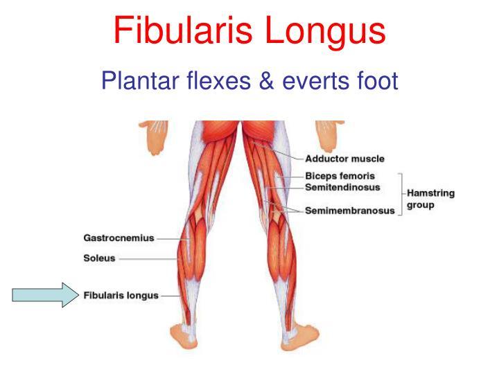 Fibularis Longus