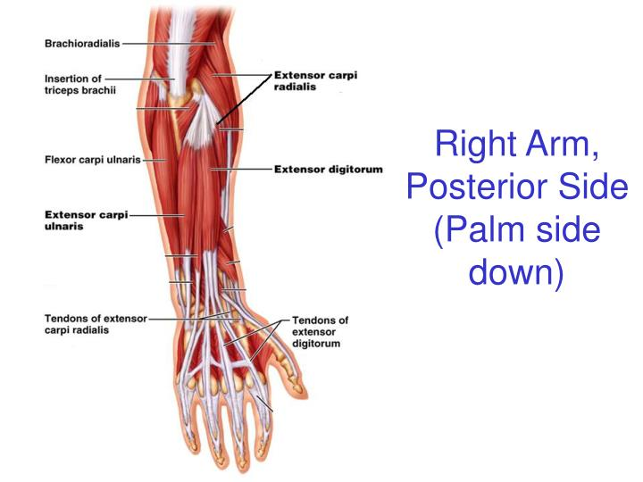 Right Arm, Posterior Side