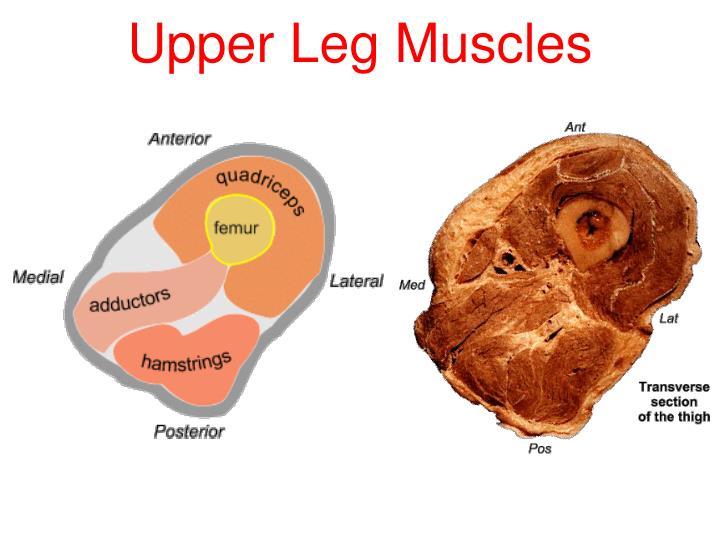 Upper Leg Muscles