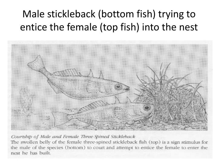 Male stickleback (bottom fish) trying to entice the female (top fish) into the nest