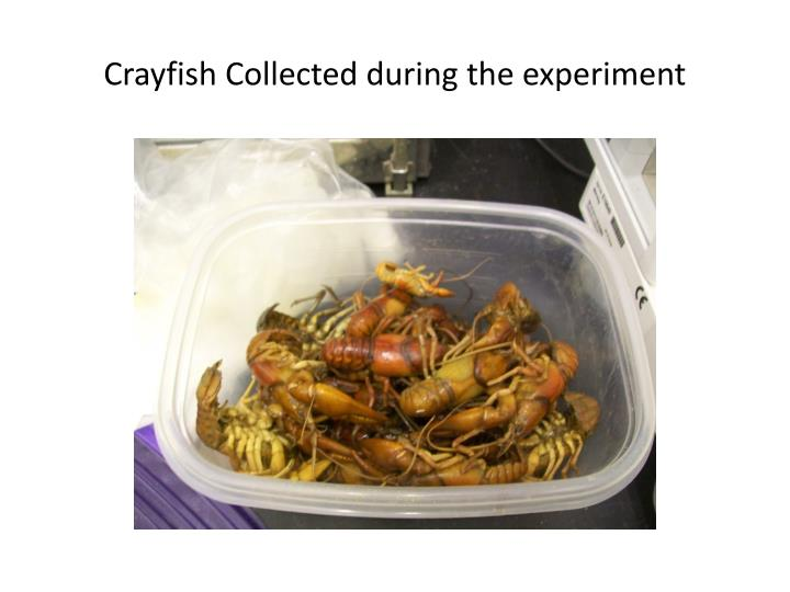 Crayfish collected during the experiment