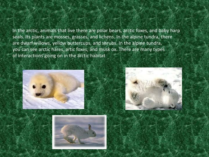 In the arctic, animals that live there are polar bears, arctic foxes,