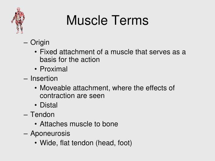 Muscle Terms