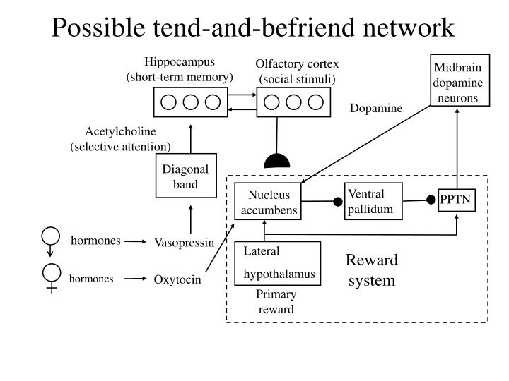 Possible tend-and-befriend network