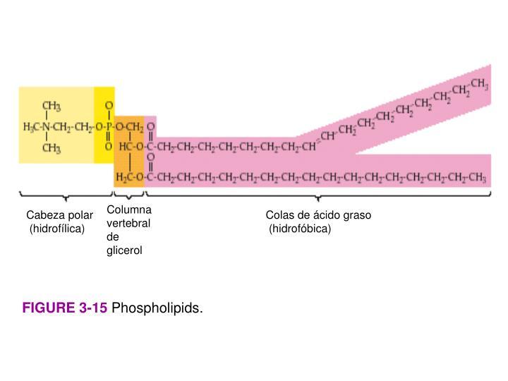 Columna vertebral de glicerol
