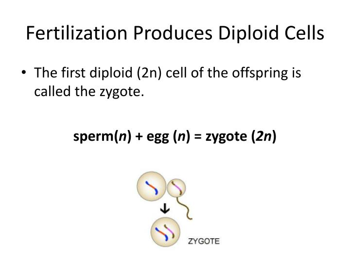 Fertilization produces diploid cells1
