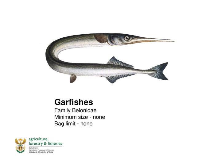 Garfishes