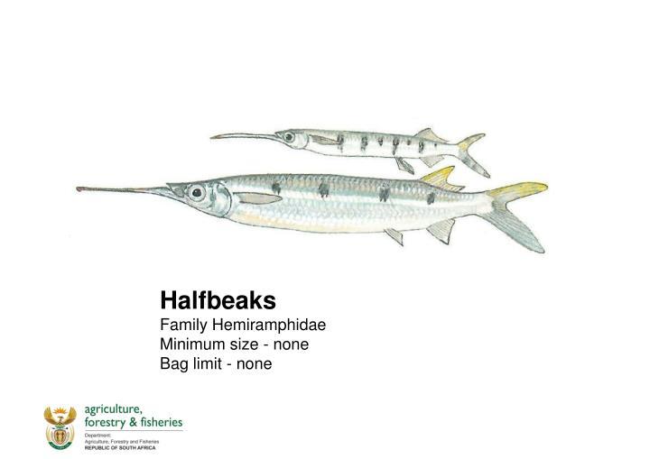 Halfbeaks