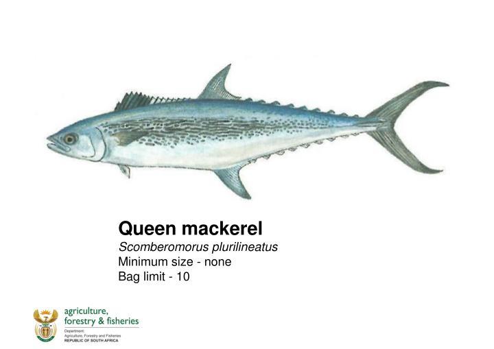 Queen mackerel