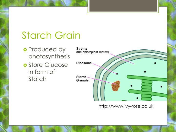 Starch Grain