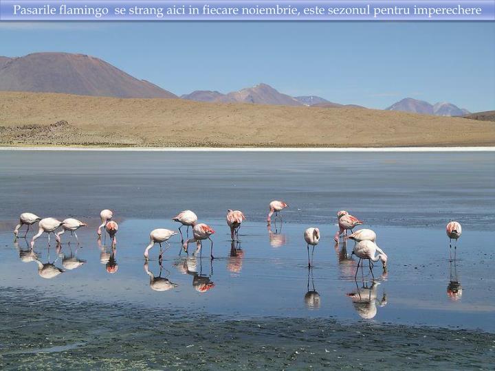 Pasarile flamingo  se strang aici in fiecare noiembrie, este sezonul pentru imperechere