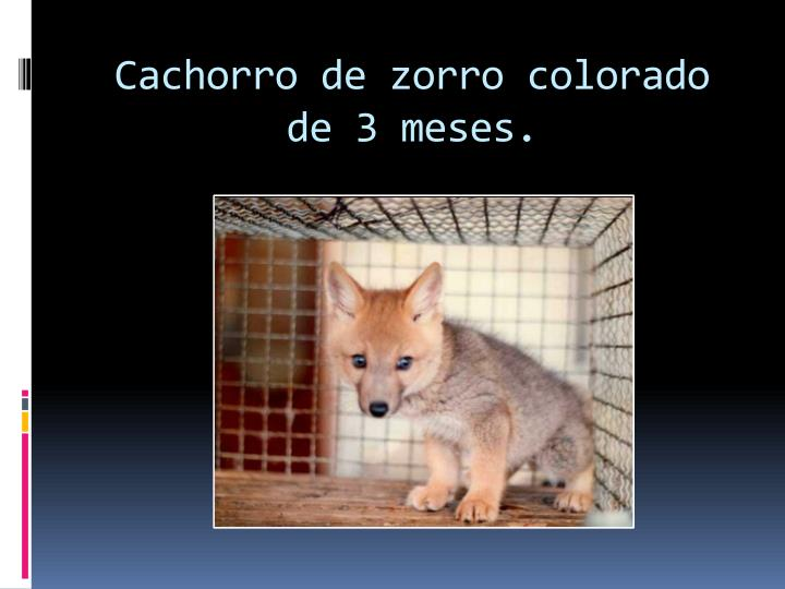 Cachorro de zorro colorado de 3 meses.