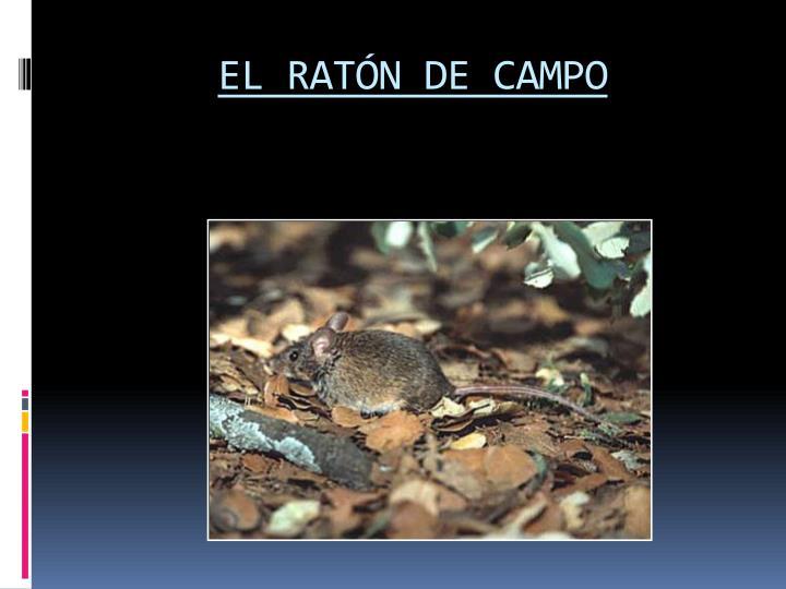 EL RATÓN DE CAMPO