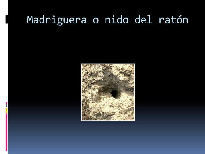 Madriguera o nido del ratón