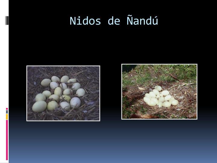 Nidos de Ñandú