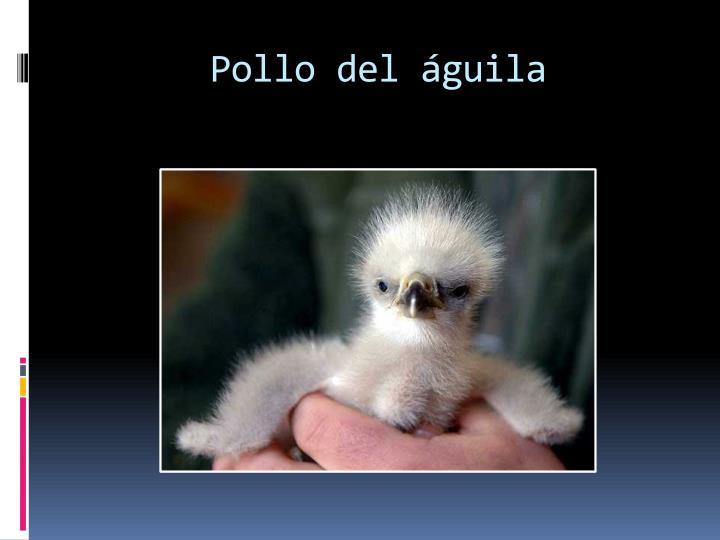 Pollo del águila
