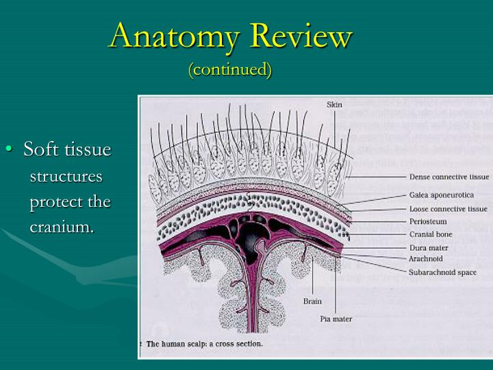 Anatomy review continued