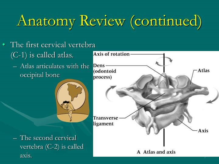 Anatomy Review (continued)
