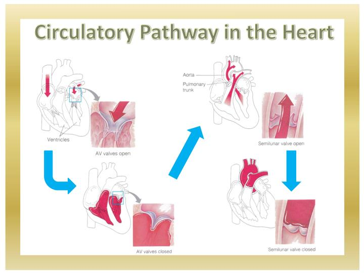 Circulatory Pathway in the Heart