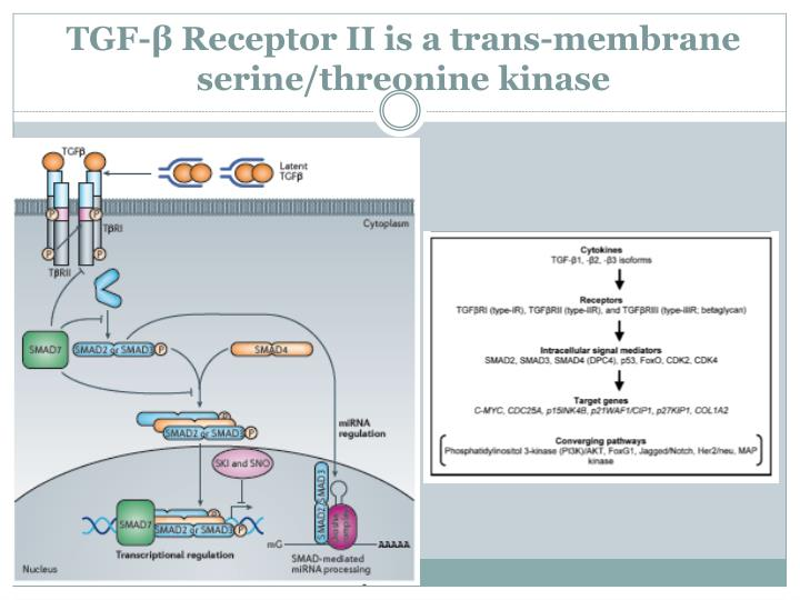 Tgf receptor ii is a trans membrane serine threonine kinase