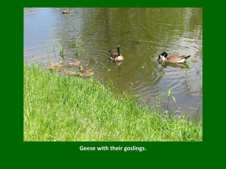 Geese with their goslings