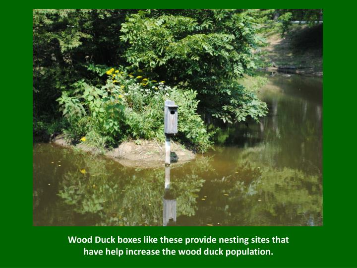 Wood duck boxes like these provide nesting sites that have help increase the wood duck population