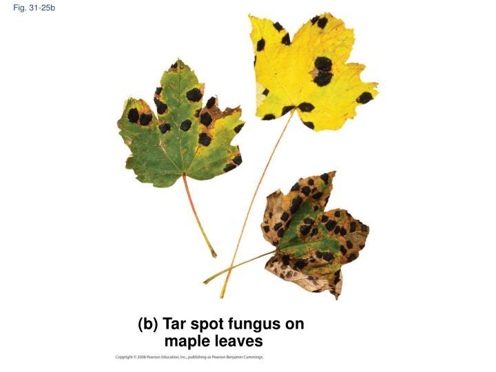 Fig. 31-25b