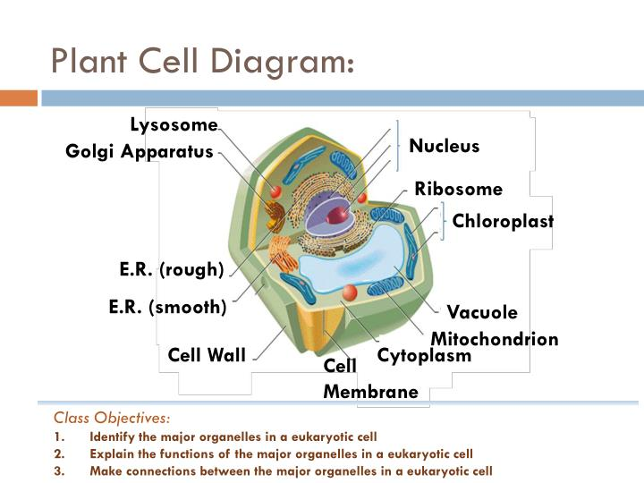 Plant Cell Diagram: