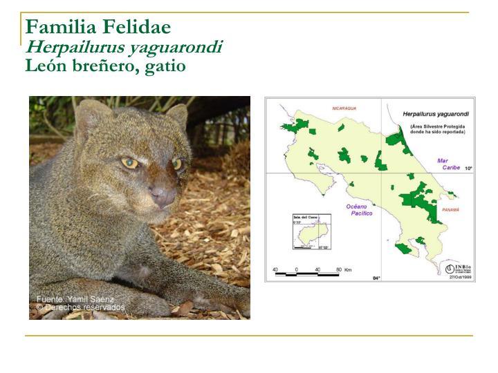 Familia Felidae