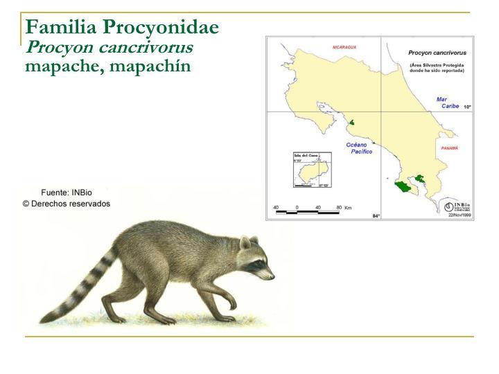Familia Procyonidae