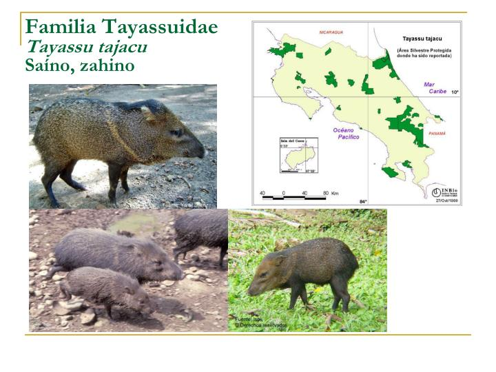 Familia Tayassuidae