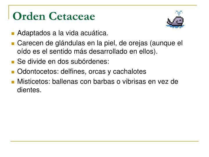 Orden Cetaceae