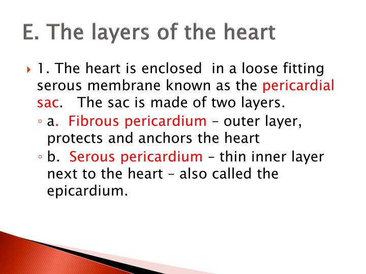 E. The layers of the heart